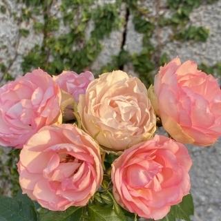 Rose S Kummel